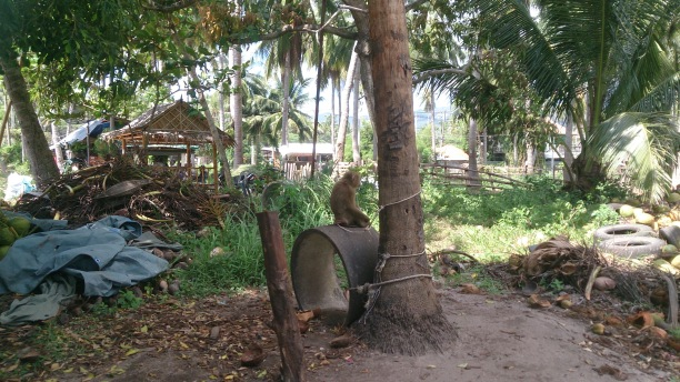 Chained monkey at coconut farm Koh Samui